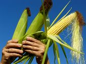 stock photo of corn-silk  - fresh harvested corn ears in hands - JPG