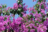 Beautiful Bougainvillea Flowers
