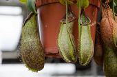 image of nepenthes  - Tropical Pitcher Plant  - JPG