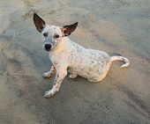 Playful Spotty Puppy On A Beach, India