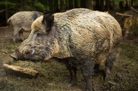 picture of beechnut  - Wild boar  - JPG