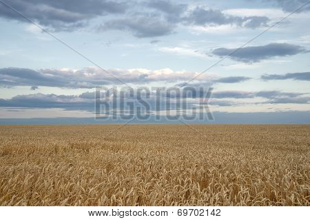 Endless Wheat Field