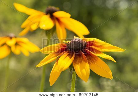 Yellow Flower. Rudbeckia