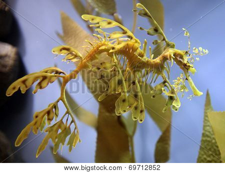 Leafy Seadragon (Seahorse)