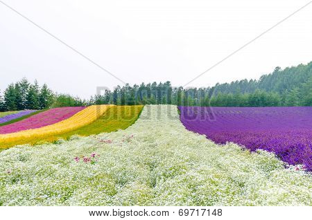 Rows Of Flower Field