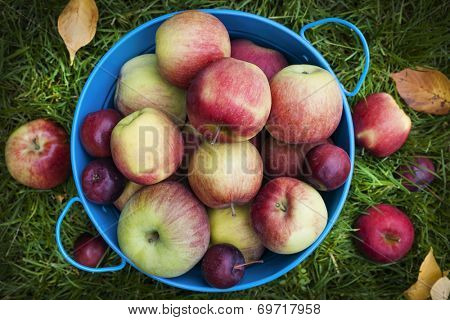 Fresh organic apples in blue pail on green grass from above