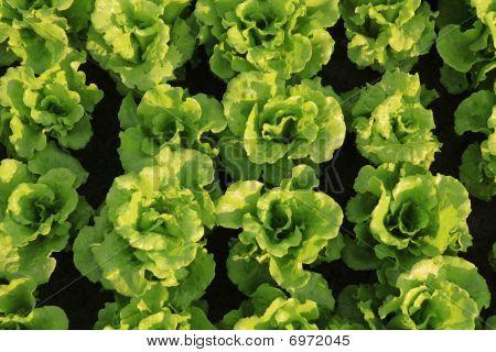 vegetalbes