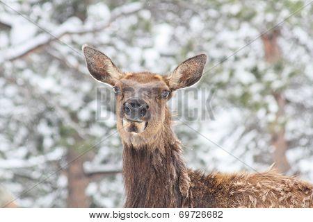 molting elk in snow face shot
