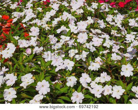 Impatiens New Guinea Flower