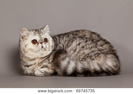 Exotic Shorthair Cat.  Persian Cat On Grey Background