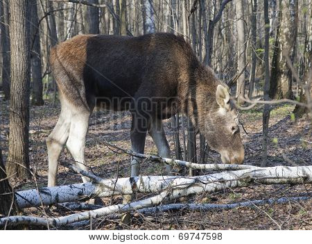 Moose In A Spring Forest