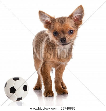 Chihuahua , 5 Months Old. Chihuahua Dog Isolated On White Background