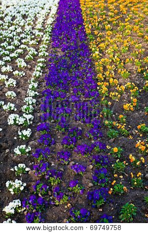 Heartsease, Flower Garden.  Flowers Background Pansy