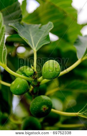 green figs ripening on a fig tree