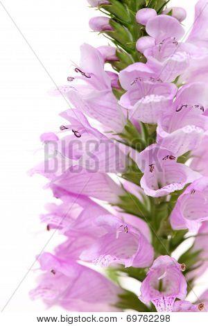 Physostegia wild flower