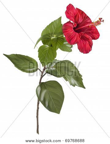 Painting of Hibiscus flower on white background