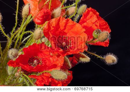 bouquet of red papavers with buds on black background