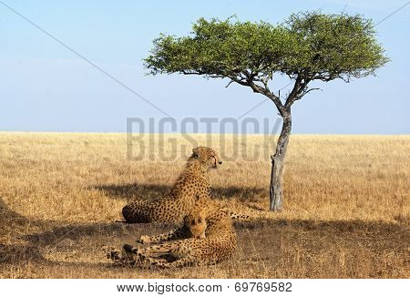 Cheetahs Of Masai Mara National Reserve