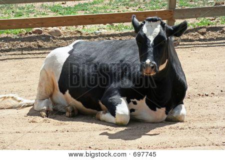 Resting Holstein