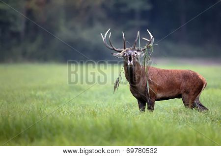 Red deer bellowing in the wild