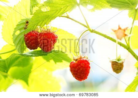 Sweet Organic Raspberries On The Bush
