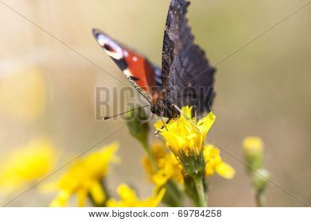 Big Butterfly With Red And Black Wings
