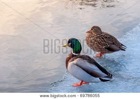 A couple of Ducks on ice