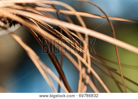 Nature's Abstract - Dried Pine Needles