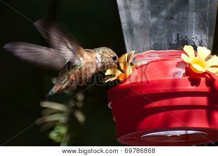 Rufous Hummingbird Drinking From A Feeder