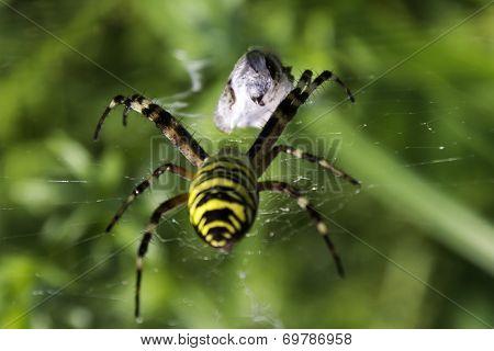 Garden spider (Argiope aurantia) approaching  prey