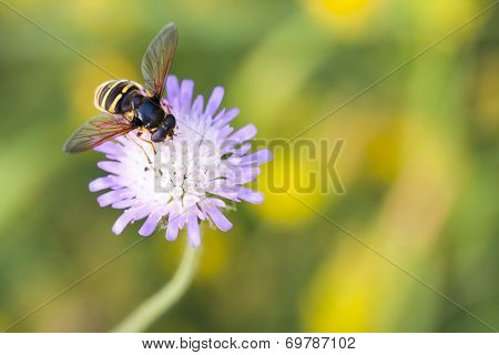 Hornet Collects Nectar From The Flower