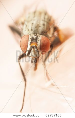 Closeup Of A Fly With Red Eyes