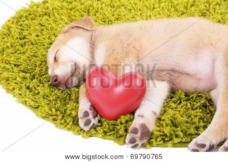 Little cute Golden Retriever puppy with red heart, on green carpet, isolated on white