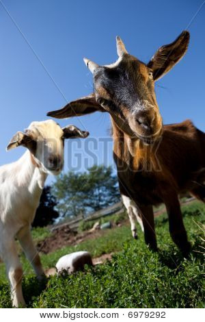Young goats