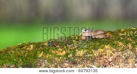 Brown Snake (Storeria dekayi) Illinois