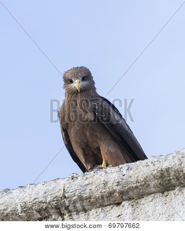 Lanner Falcon On The Walls Of Camel Meat Butchery In Walled City Of Jugol. Harar. Ethiopia.