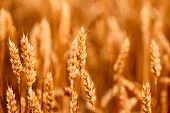 image of pointed ears  - Yellow wheat ears field background - JPG