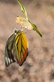foto of cocoon  - Young butterfly leave out of the cocoon  - JPG