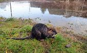 Постер, плакат: Nutria after a flood