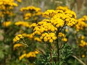 picture of common  - Tansy  - JPG