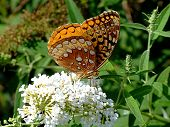 Copper Butterfly On Flower