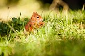 pic of hirsutes  - Ginger squirrel with nut on the green grass - JPG