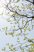 stock photo of dogwood  - Fresh leaves and branches of dogwood  - JPG