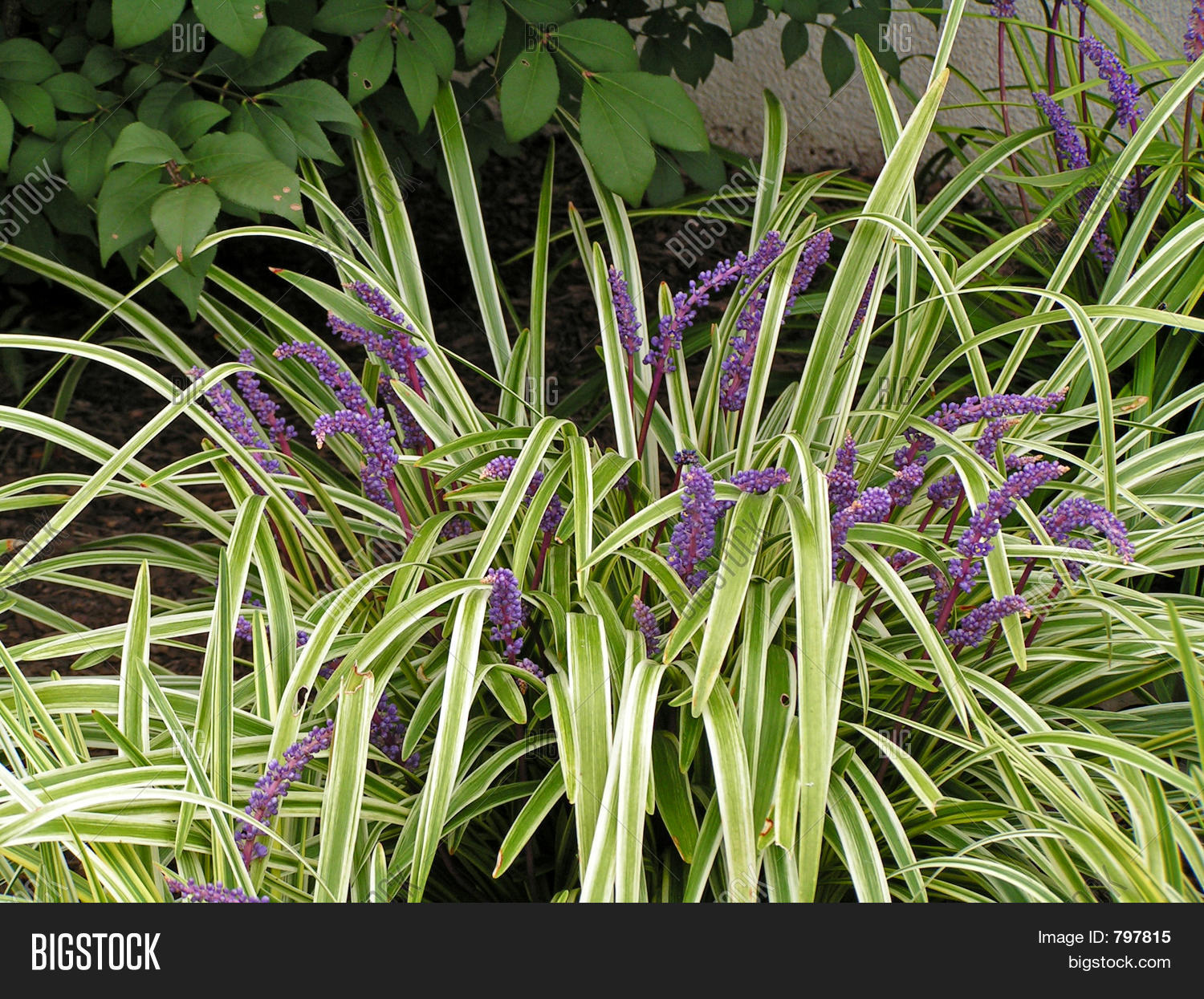 Ornamental Ground Cover With Purple Flowers