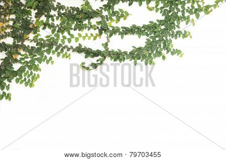 Green Ivy Climbing Fig Isolated
