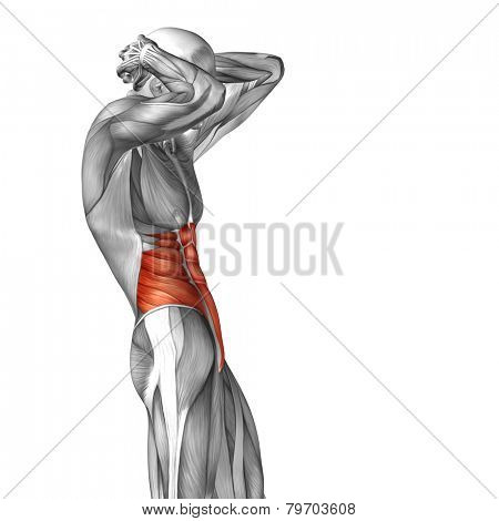 Concept or conceptual 3D abdomen or chest human anatomy or anatomical and muscle isolated on white background
