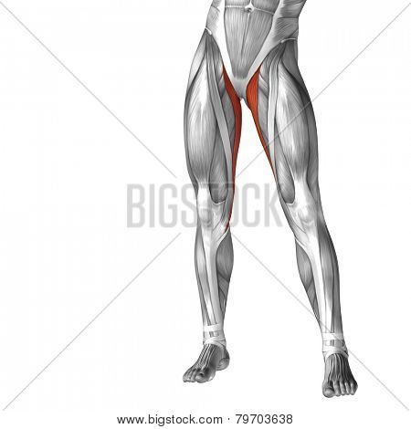 Concept or conceptual 3D human legs or gracilis anatomy or anatomical and muscle isolated on white background.