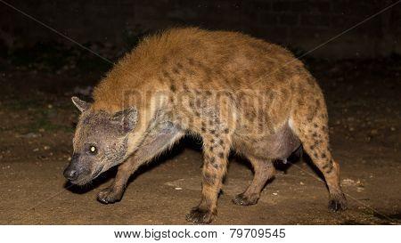 Pregnant Wild Hyena