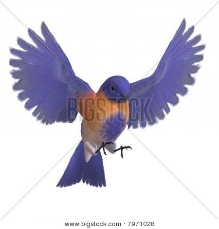 Bird Male Western Bluebird