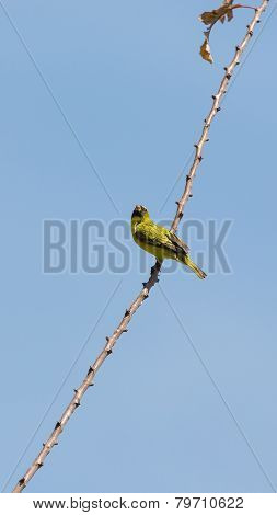 A Yellow Robin On A Tree